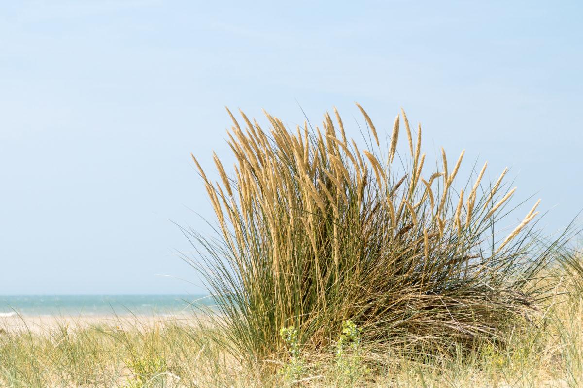Oyat des dunes