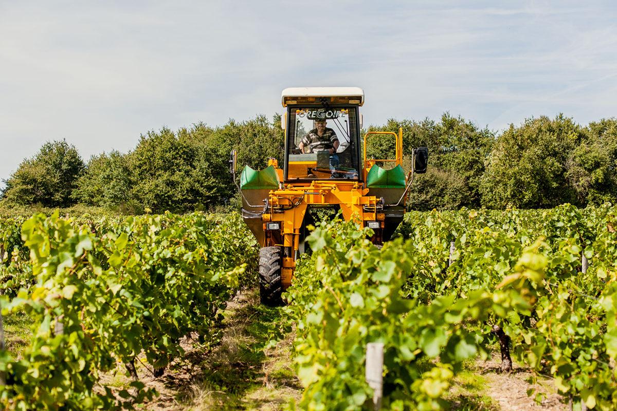 vigne récolte vendange vignoble vin mareuillais fiefs vendéens